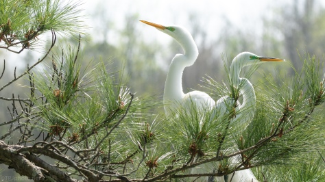 They Picked A Nest Spot, Egrets
