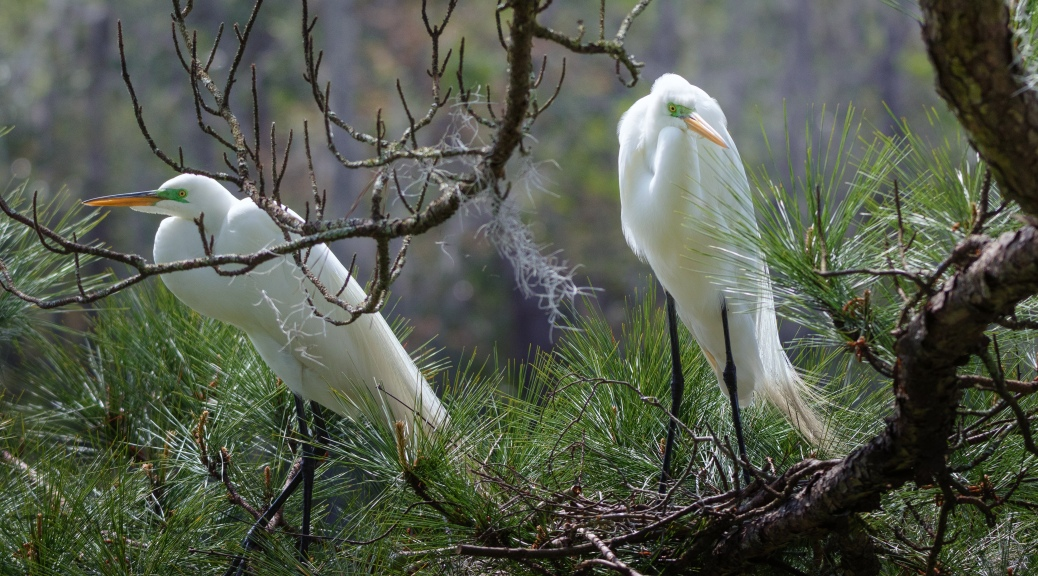 Nesting, Great Egrets