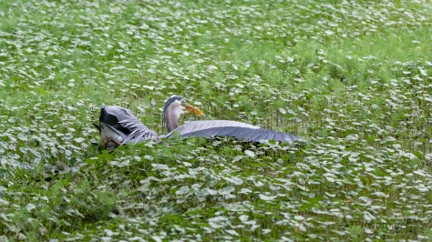A Diving Catch, Heron