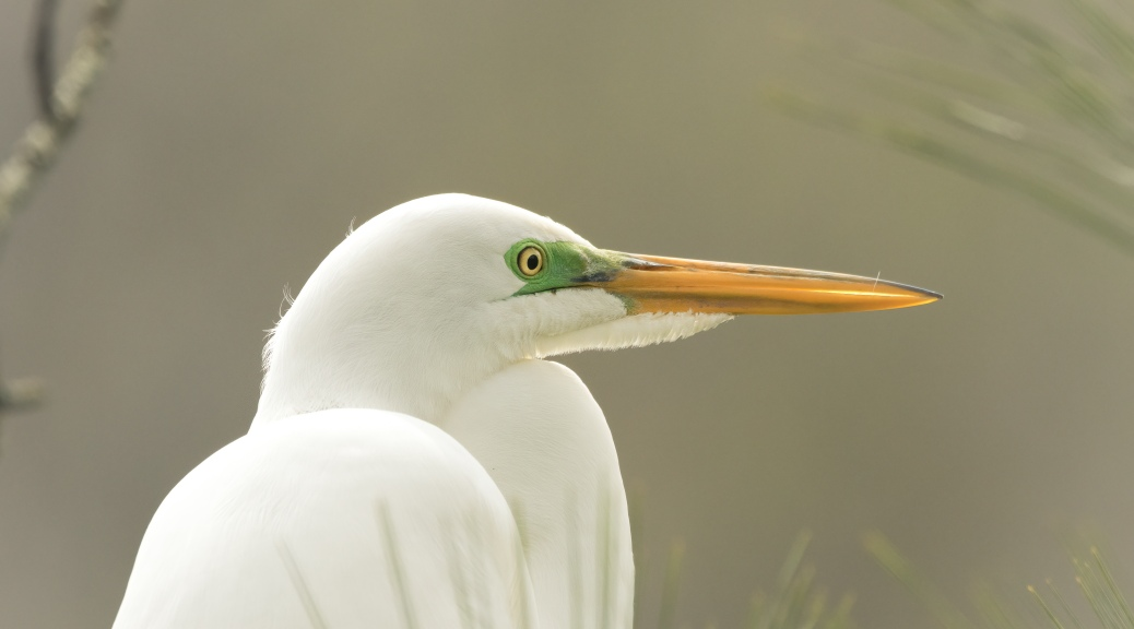 Sitting For A Portrait, Egret