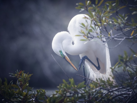 Backlit Egret