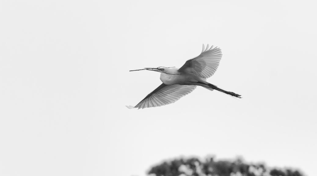 Black And White, Egret