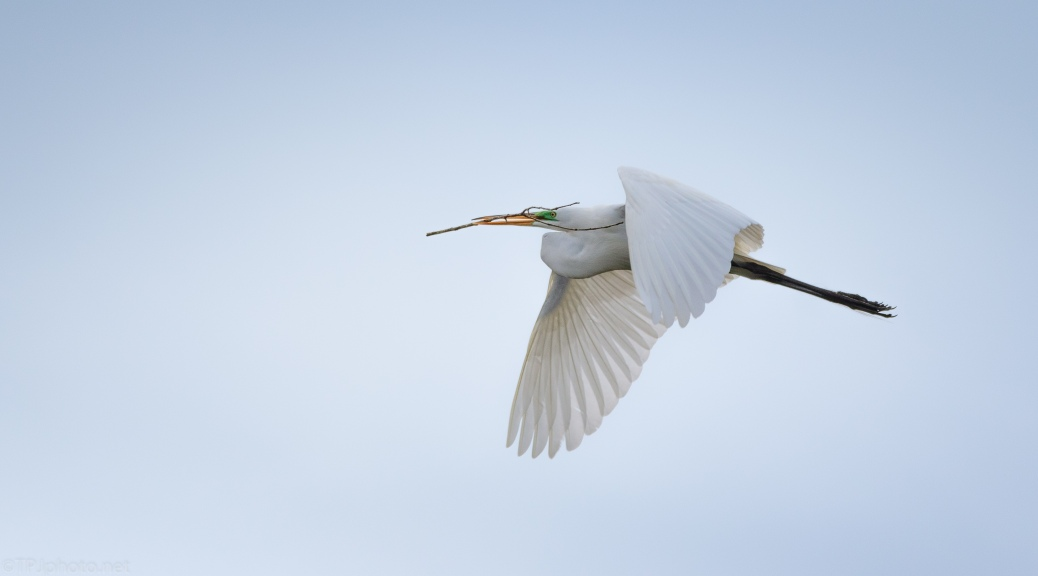 Egret, Quick Fly By