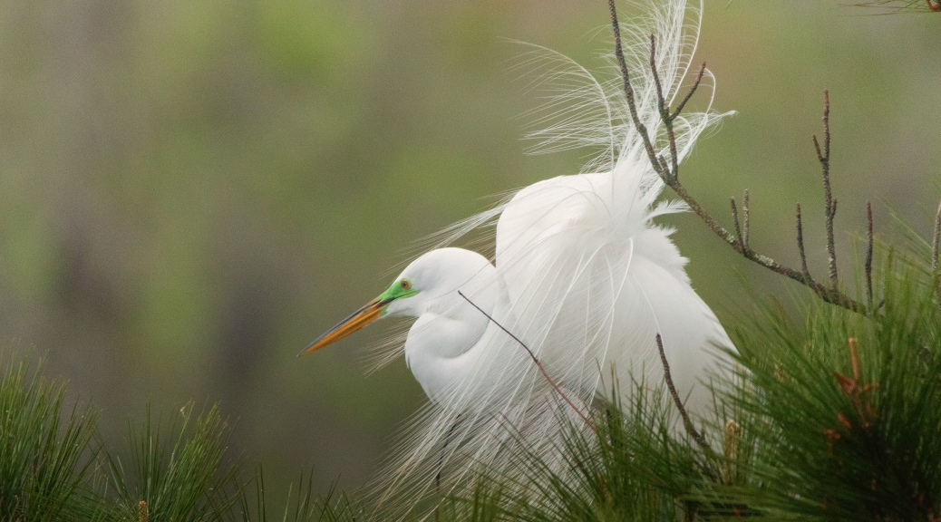 Egret Posing In A Pine