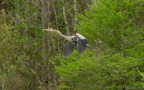 Great Blue Fly By
