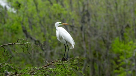 Searching The Swamp, Great Egret