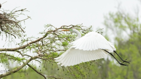 Egret Back To A Rookery