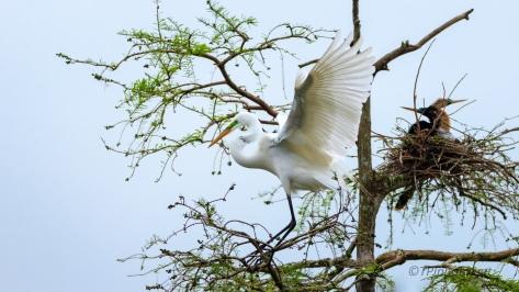 A Graceful Touchdown, Egret