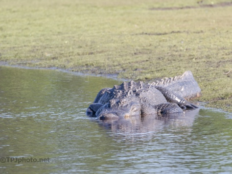 Another Two Locals, Alligator