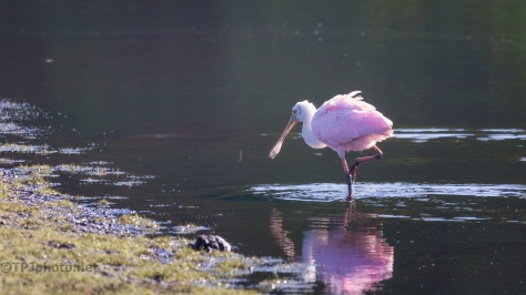 From The Dark Corner, Spoonbill