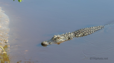 Curious Alligator