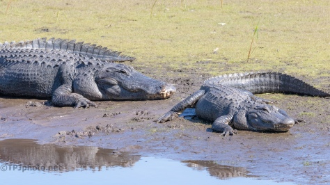A Lovely Couple, Alligator