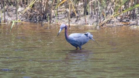 Little Blue Heron Breeding Colors