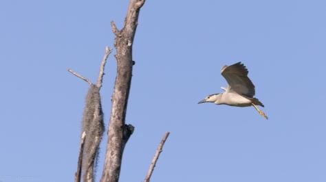 Black-crowned Night Heron, A Hidden Nest