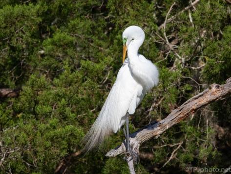 Abandon Rookery, Egret