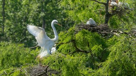Great Egret Returning To Nest