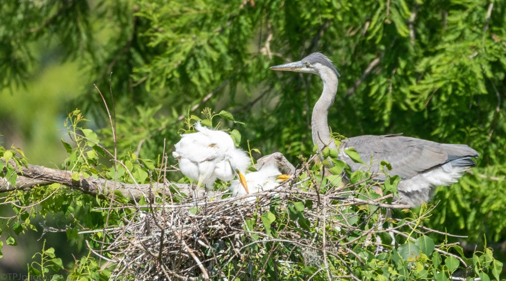 Odd Neighbors, Egret - Heron
