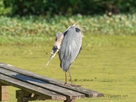 Yoga, Great Blue Style