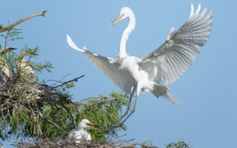 Stylish Delivery Of A Twig, Egret
