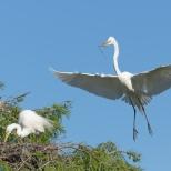 In Flight, A Great Egret