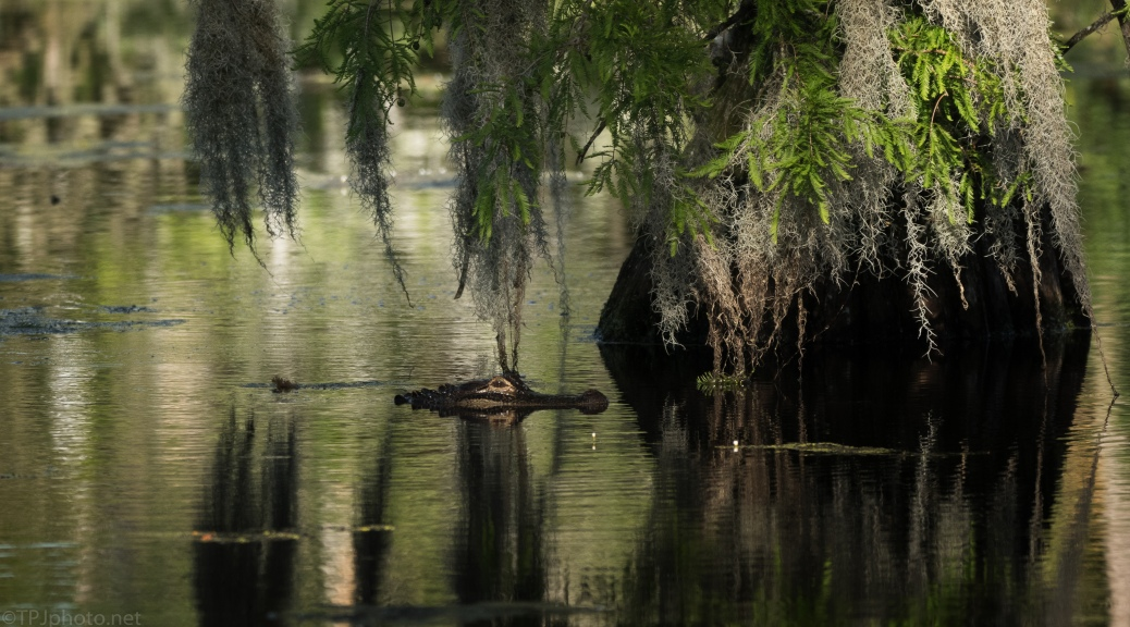 Late In The Day, Alligator