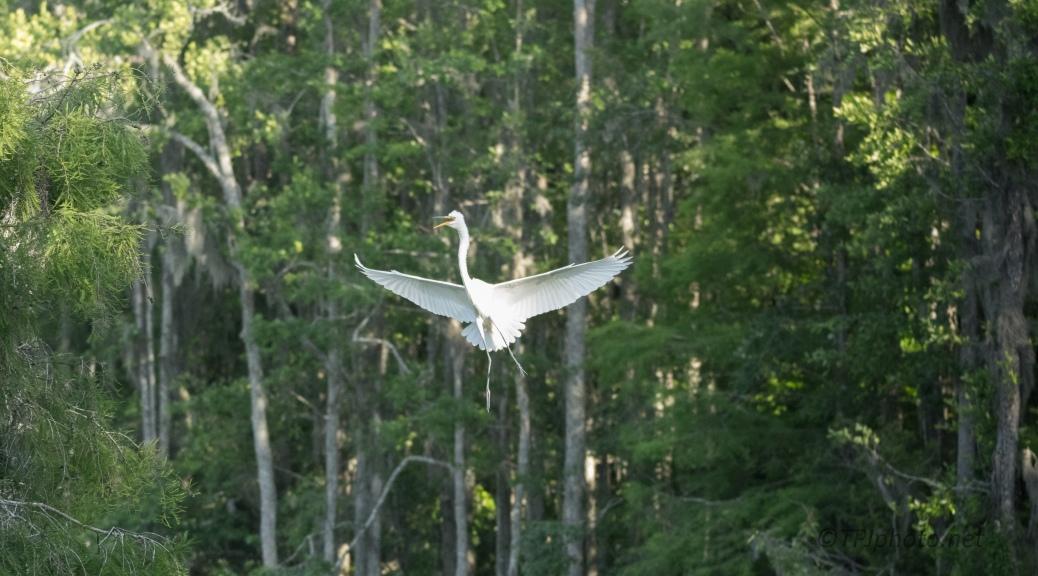 Great Egret Arrival