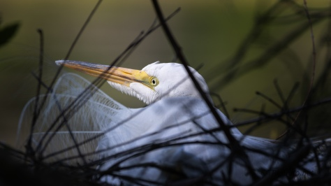 Sitting And Waiting, Great Egret