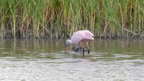 Don't Bite The Alligator, Spoonbill
