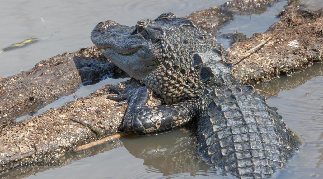 Almost Missed Him, Alligator