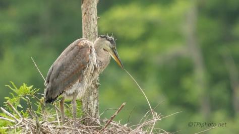 They Grow Fast, Heron