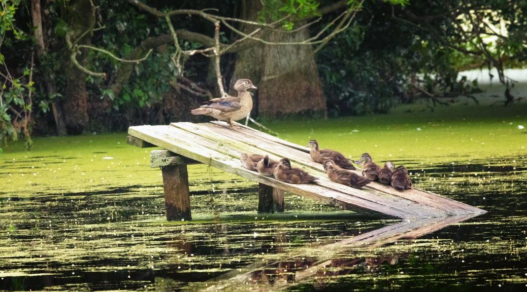 Wood Ducks, First Sighting