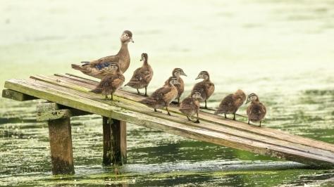 Wood Ducks, Second Sighting