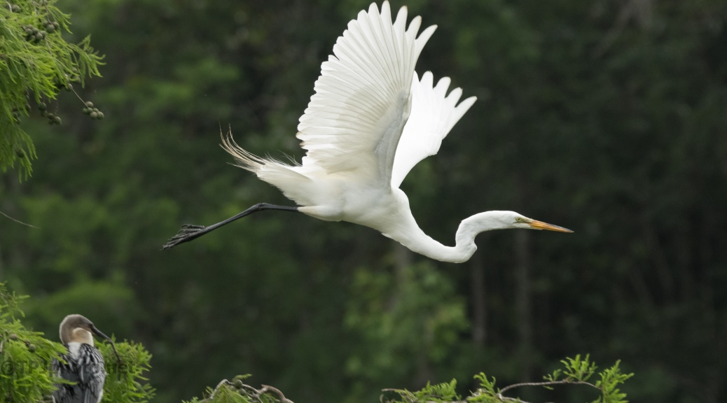 Great Egret Flying Through