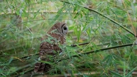 Owl Almost Out Of Sight