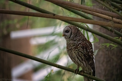 In The Bamboo, Owl