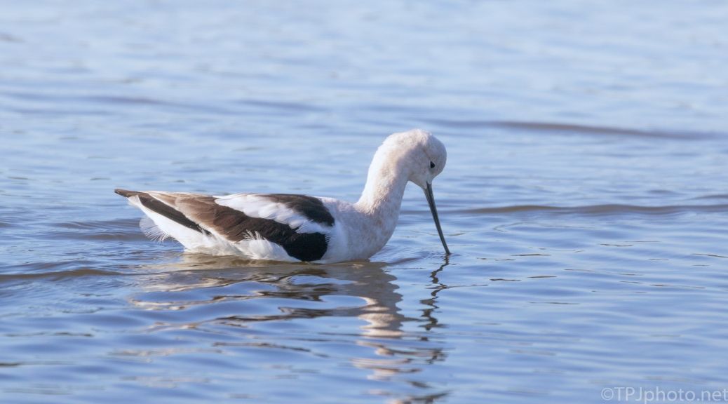 Avocet, An Elegant Bird