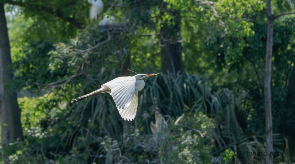 Over And Through A Swamp, Great Egret