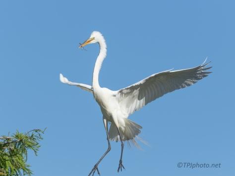 Slow Approach, Great Egret