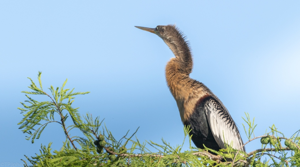 Anhinga Taking A Rest