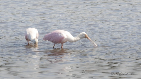 A (Small) Pink Parade, Spoonbill