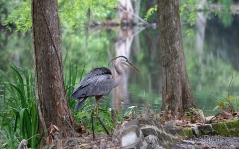 Heron, Plantation Pond