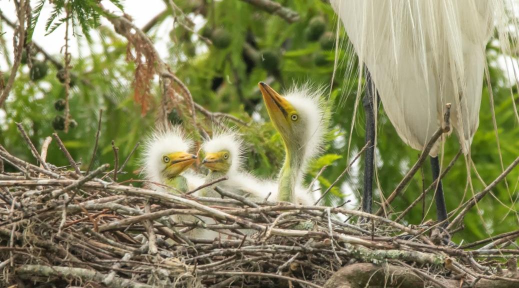 Three Amigos, Egret
