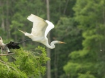 The Take Off, Egret