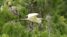 Great Egret Flights