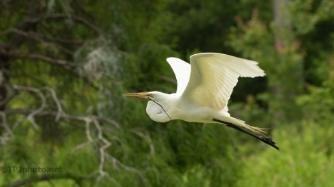 Egret Gaining Height