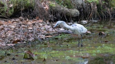 Still Here, Little Blue Heron