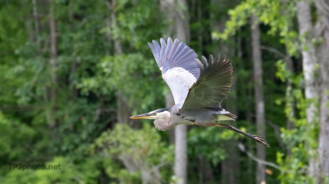 Great Blue Passing