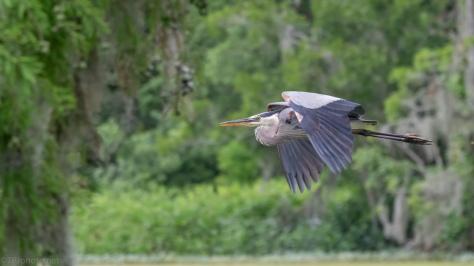 Flight, Great Blue Heron