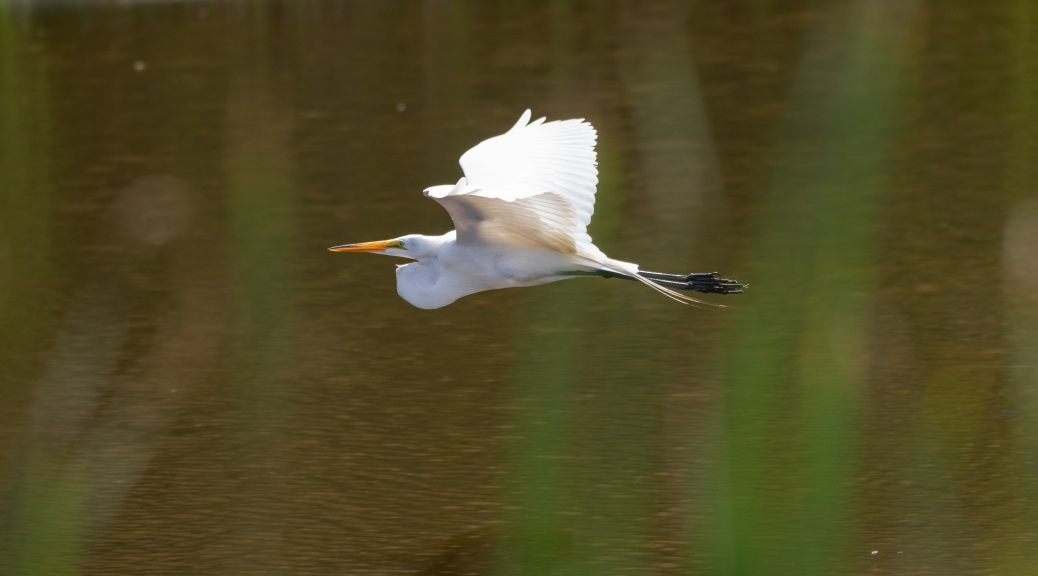 By The Ashley River, Egret