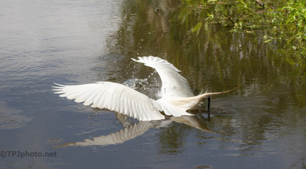 The Catch, Great Egret